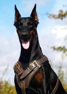 Doberman Protection Dogs - Where to find the best guard dogs