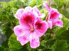 purple_flower_geranium_flowers_236918.jpg (425×318)