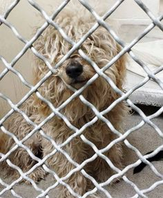 ADOPTED-- *PUPPY* He is adorable and just a year old and after a bath he is going to feel great. Please SHARE this little angel, a FOSTER would save his life. Thanks!  #A4831162 I'm an approx 1 year old male poodle toy.  I have been at the Carson Animal Care Center since May 16, 2015. I will be available on May 20, 2015. You can visit me at my temporary home at C211.  http://www.petharbor.com/pet.asp?uaid=LACO1.A4831162  Carson Shelter, Gardena, CA