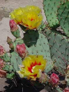 Reference Photos for Artists: Flowers Reference Photos for Artists: Flowers: Flower Reference Photos for Artists: Prickly Pear Cactus