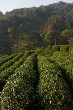 Amanfayun Tea Fields, China ©Christopher Baker