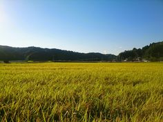 Rice Fields #farm