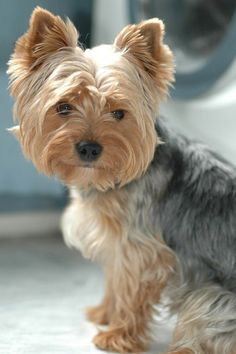 Yorkshire Terrier dog portraits, , blond and grey Yorker name Jolie