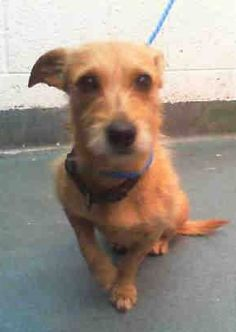 EDGAR (A1681125)I am a male tan and white Dachshund mix. The shelter staff think I am about 3 years old. I was found as a stray and I may be available for adoption on 02/25/2015. — hier: Miami Dade County Animal Services. https://www.facebook.com/urgentdogsofmiami/photos/pb.191859757515102.-2207520000.1424373319./931627170205020/?type=3&theater