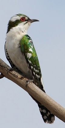 The Diederic cuckoo is a member of the cuckoo order of birds, the Cuculiformes, which also includes the roadrunners and the anis.  It is a brood parasite.  It leaves a single egg mostly in the nests of weavers, especially the village weaver and the bishops in the genus Euplectes.  It is a common breeder in Sub-Saharan Africa and the Arabian Peninsula.