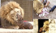 Bonedigger, a five-year old male lion, and Milo, a seven-year old Dachshund dog, have been inseparable over the past five years at a zoo Park in Oklahoma.