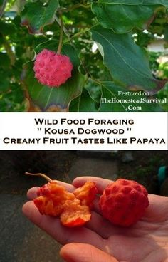"""Wild Harvests website shares about a wild food often found in urban areas, """" Kousa Dogwood """". Kousa Dogwood fruit has a pinkish-orangish red berry and the Homestead Survival, Survival Food, Emergency Preparedness, Survival Shelter, Wilderness Survival, Survival Tips, Survival Skills, Kousa Dogwood Fruit, Edible Wild Plants"""