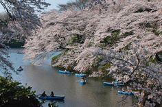 Great shot of Tokyo without Tokyo. Near Akasaka Mitsuke station in early April Tokyo Tourist Attractions, Tokyo City, Tokyo Japan, Metro Subway, Location Map, Travel Maps, Great Shots, Japan Travel, Beautiful Gardens