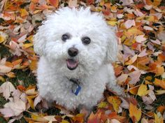 Bichon in the leaves!
