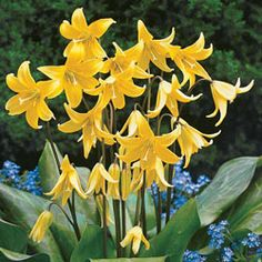 Give your garden space a beautiful appeal by selecting this Spring Hill Nurseries Dog Tooth Violet Erythronium Bulbs. Blooms in spring and easy to handle. Shade Flowers, Bulb Flowers, Shade Plants, Shade Perennials, Trout Lily, Woodland Plants, Woodland Garden, Lily Shop, Michigan