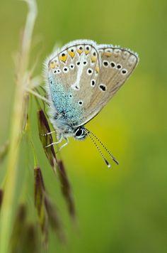 Storchschnabel-Bläuling (Aricia eumedon) - nahe Karlstadt (UFR), 18.05.2014 Moth, Butterflies, Insects, Animals, Nocturne, Animales, Animaux, Butterfly, Animal