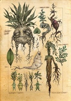 A mock botanical illustration of mandrakes. In the world of Harry Potter, when the mandrake root is dug up it screams and kills all who hear it. Art And Illustration, Botanical Illustration, Halloween Illustration, Botanical Drawings, Botanical Prints, Inspiration Art, Art Inspo, Fantasy Creatures, Mythical Creatures