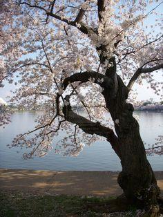 ✯ Sakura