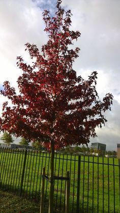De Amberboom is een van de mooiste bomen. Hij heeft een grote sierwaarde door zijn verkleuring in... Ornamental Trees, Outdoor, Plants, Home And Garden, Garden Plants, Tree, Garden, Exterior