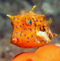 Cowfish-- my new FAVORITE fish