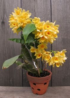 VIETNAM-VIETNAM orchids ORCHIRDS: Narcissus flat (weaves) - dendrobium sulcatum Lindl-1838