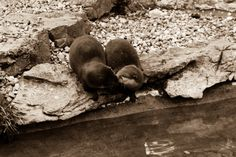 Otters share a quick kiss - February 6, 2013