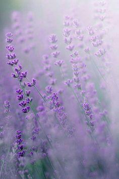 Lavender Fields Photography #LavenderFields