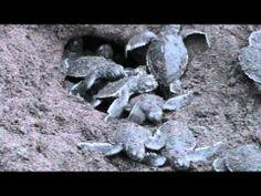 green sea turtles birth