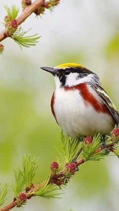 Red Striped Warbler