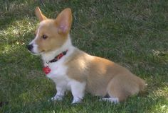 Angel Corgi Puppy Dog  {Looks just like my Minnie}