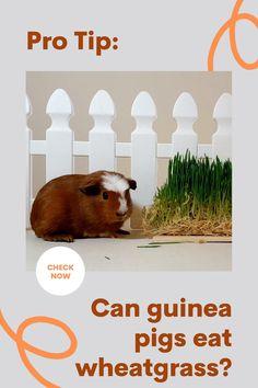 Guinea Pig Food, Guinea Pig House, Pet Guinea Pigs, Guinea Pig Care, Guinea Pig Information, Pigs Eating, Wheat Grass, Exotic Pets, Canning