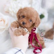 Tiny Red Toy Poode Puppy Toy Poodle Puppies Teacup Puppies Poodle