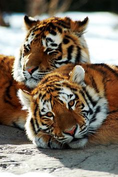 #Tigres #Tigers #Animales #Animals