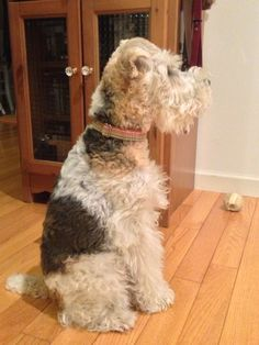 Wire Fox Terrier so typical - just love Perro Fox Terrier, Wirehaired Fox Terrier, Wire Fox Terrier, Bull Terrier, Fox Terriers, Cute Cats And Dogs, I Love Dogs, Dogs And Puppies, Doggies