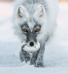 Photograph by Sergey Gorshkov The Artful Dodgers of Wrangel Island, arctic foxes steal as many as 40 snow goose eggs a day and cache them for their pups.  Gorshkov-photo.com