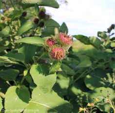 Typically thought of as a garden weed, every part of the burdock plant can be used to keep you healthy.