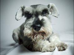 Miniature Schnauzer by Lilian Cristine Voos.looks like Lilo Mini Schnauzer Puppies, Miniature Schnauzer, Schnauzers, I Love Dogs, Puppy Love, Cute Puppies, Dogs And Puppies, Dog Information, Dog Pin