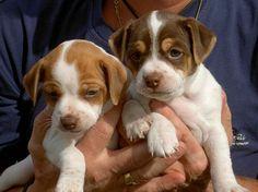 Danish-Swedish Farmdog - Dansk-Svensk Gårdshund #puppies Kabokas Zita (on left) and Kabokas Zamora | Kennel Kabokas