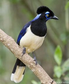Photo of the Day – The Plush-crested Jay (Cyanocorax chrysops) is a communal breeder, and 2 or 3 helpers commonly take part in the nesting duties and defence. The species also commonly forages in. Pretty Birds, Beautiful Butterflies, Beautiful Birds, Animals Beautiful, Polo Sul, Polo Norte, Animals Of The World, Animals And Pets, Cute Animals