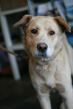 Quill Age : 3 years Breed : Yellow Lab X Location: Edmonton Intake: Serptember 2013 Age 3, Quill, 3 Years, Animal Rescue, Labrador Retriever, Yellow, Dogs, Animals, Feather
