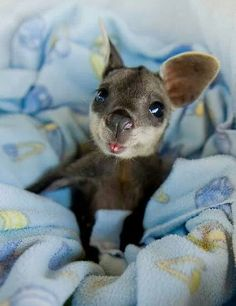 Baby wallaby in a blankie. @Shaun Barrett-Vigilance  how is this for a weird animal? Haha