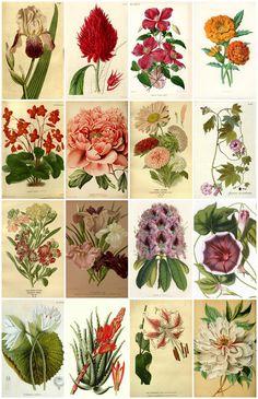 Vintage Botanical Flower Images Collage Sheet