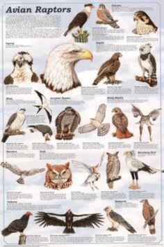 Desert Hawk Diagram Bmw E46 Car Stereo Wiring 131 Best Bird Charts Images Birds Nature Animal Anatomy Avian Raptors Of Prey Educational Science Chart Poster