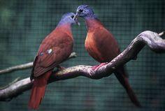 Blue-Headed Wood-Doves - Turtur brehmeri