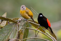 Passerini's Tanager male and female