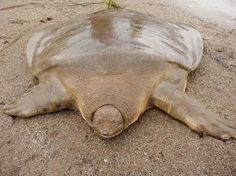 Cantor's Giant Soft Shelled Turtle The Cantor's giant softshell turtle or Asian giant softshell turtle is a species of freshwater turtle. The turtle has a broad head and small eyes close to the tip of its snout. The carapace is smooth and olive-colored.