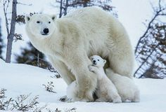 Polar Bear Photos by David Jenkins Bear Photos, Bear Pictures, Animal Pictures, Cute Baby Animals, Animals And Pets, Funny Animals, Wild Animals, Mundo Animal, My Animal