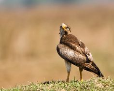 #Winter #migration has started and locals have some #competition now. It will be another few months before these guys are back in #focus  White-eyed buzzard | Butastur teesa | | Chennai , Tamilnadu, India | May '14