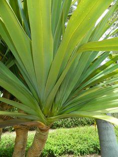 Pandanus utilus leaves.  Have sharp spines on leaf edges.