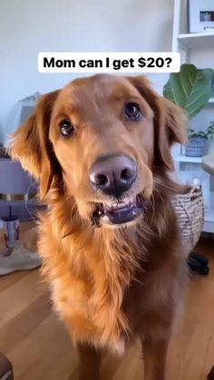 "Do you know what ""M-O-M"" stands for? . . . . . . #talkingdog #talkingdogs #funnydogvideos #funnydog #dogsofpennsylvania #dogmoms #doglovers #trendingvideo #pethumor #doglover #doghumor #funnydogs #dogreelsofinstagram #reelsinstagram #dogreels #instareels #goldenretrievers #goldenretrieversofinstagram #goldenlovers #instadaily #dogvideo #instadog #goldenretriever #retriever #dogloversofinstagram #worldofdogs #ilovemydog #dogstagram Funny Animal Jokes, Funny Dogs, Funny Animals, Cute Animals, Esa Letter, Emotional Support Animal, Best Funny Videos, Do You Know What, Trending Videos"