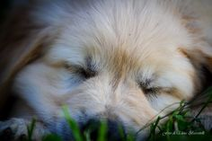 Golden Retriever - Cucciolo stanco  #goldenretriever #puppy #cucciolo #golden