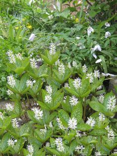 Chloranthus japonicus - plant of the month May 2013 - Plant Portraits - Alpine Garden Society