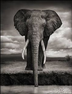 artnet Galleries: Elephant Drinking, Amboseli by Nick Brandt from Staley-Wise Gallery