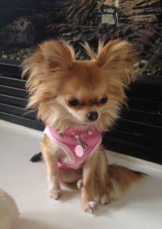 Effective Potty Training Chihuahua Consistency Is Key Ideas. Brilliant Potty Training Chihuahua Consistency Is Key Ideas. Long Haired Chihuahua, Chihuahua Puppies, Cute Puppies, Cute Dogs, Dogs And Puppies, Chihuahuas, Doggies, Cockapoo Puppies, Dogs Pitbull