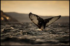 Humpback Whale Tail | Flickr - Photo Sharing!     Newfoundland, Canada